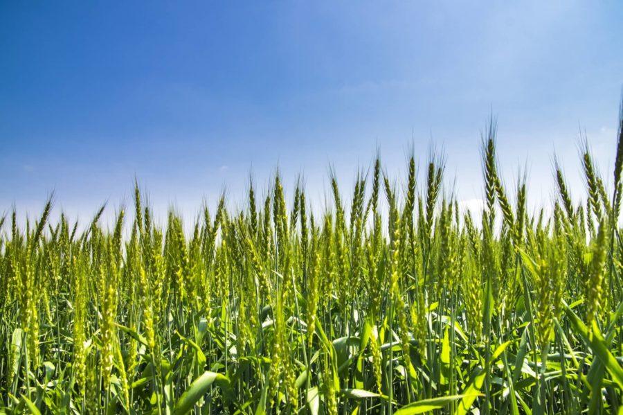 もち麦ダイエットでデブ菌とはおさらば!もち麦ダイエットの口コミや効果を紹介